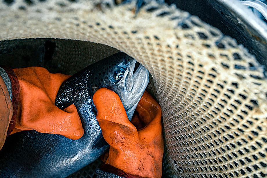 Рыбное хозяйство – тяжёлый ежедневный труд с присущими ему рисками. Чтобы вырастить из икринки рыбку, надо ждать три года