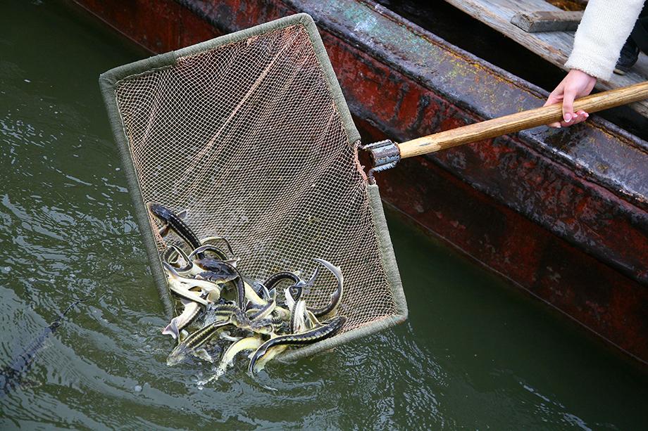 Согласно исследованиям, корм из переработки пушных зверьков увеличивает выживаемость и прирост рыб семейства осетровых.