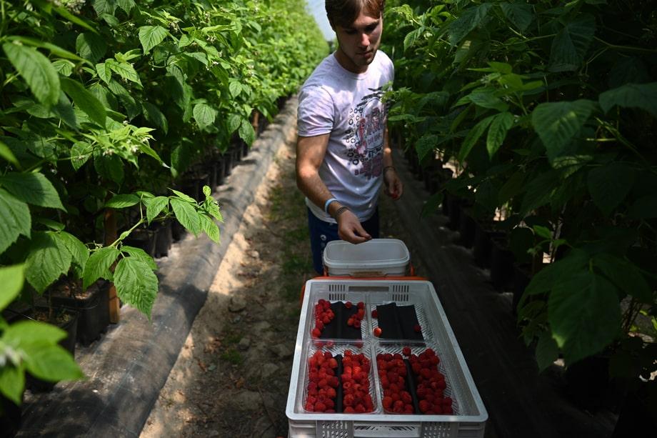 22 июня 2020 года. Великобритания. Мейдстон. Сезонный рабочий собирает малину на фруктовой ферме Винтервуд. Ограничения на поездки из-за коронавируса лишили ферму сезонных рабочих из Польши, Болгарии и Румынии. В этом году 40 сборщиков — англичане, уволенные коронавирусом.