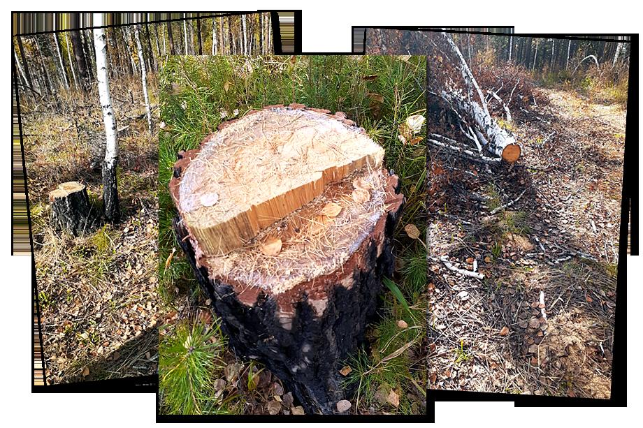 «Ещё один источник – вырубка леса самими арендаторами. Они по таким же серым схемам зарабатывают на лесе. Так, например, ведут себя коренные жители вокруг Байкала».