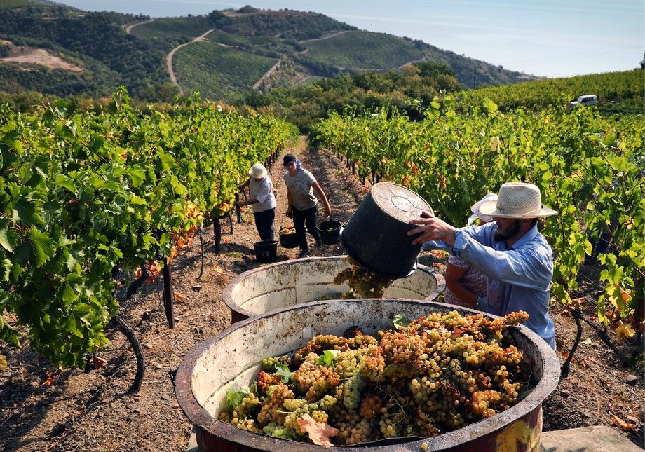 Только на обновление виноградников, по оценке специалистов, «Массандре» необходимо 4 млрд рублей.