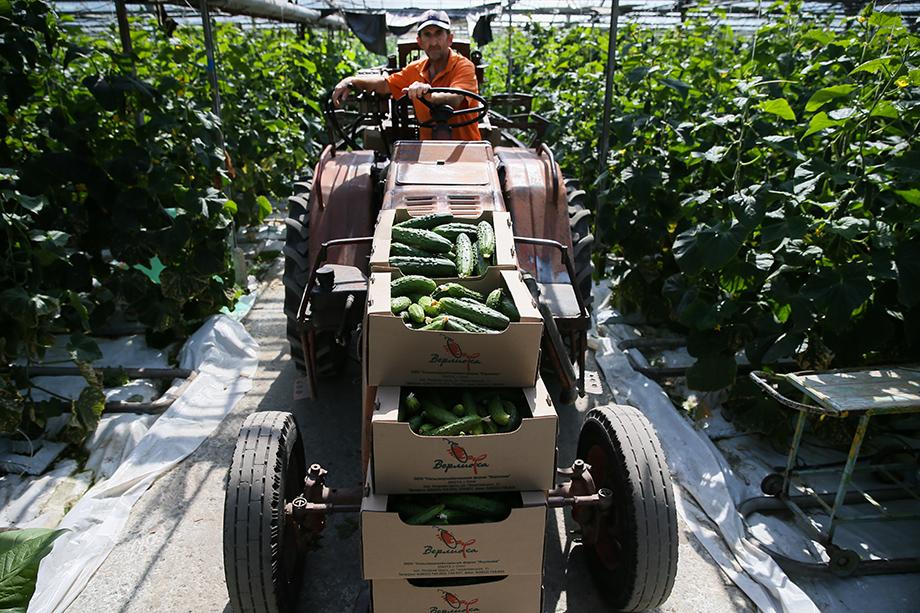 Не всё продовольственное импортозамещение идёт как по маслу. Овощи – в отстающих: вместо планируемого сокращения на 70,3 процента получилось лишь на 27.