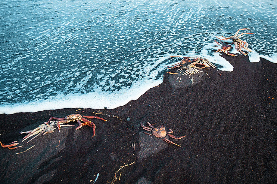 Крабы-стригуны, выброшенные на берег Халактырского пляжа.
