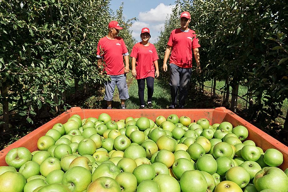 Крым – благоприятный регион для выращивания плодово-ягодных культур, но собранного урожая не хватает: всё уходит на материк, а на крымских рынках продают фрукты из других стран.