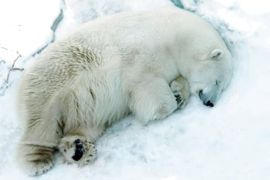 Медведь Умка скончался 20 апреля. Причиной мог стать проглоченный им детский мячик, который бросили в вольер посетители.
