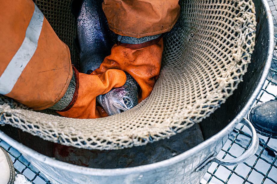 Осуждению зоозащитников подвергаются и рыбные фермы.