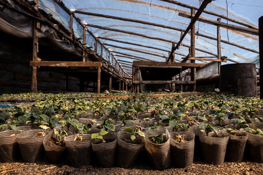 В заброшенных теплицах фермеры выращивают рассаду.
