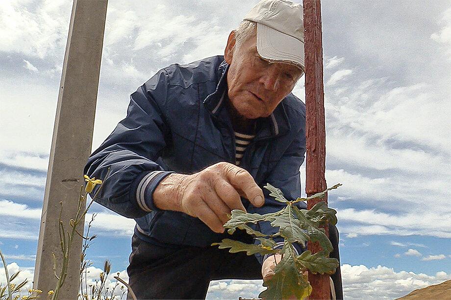Владимир Терентьев подвязывает молодые дубы – они очень хрупкие первые несколько лет.