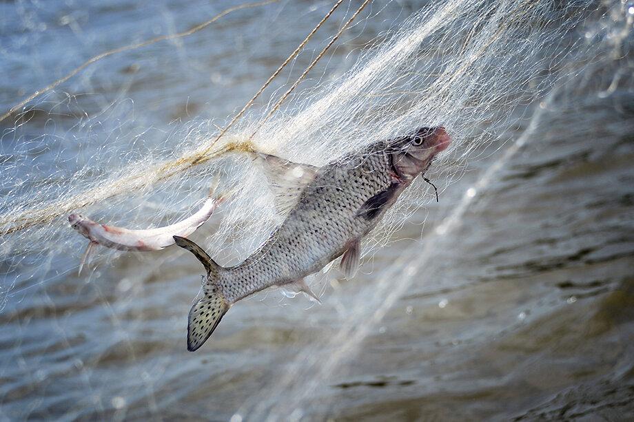 Браконьерство, в свою очередь, привело к тому, что даже аборигенная рыба в челябинских озёрах стала вырождаться.