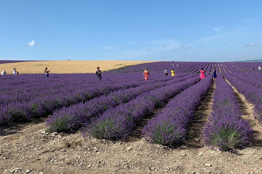 Агрофирма «Тургеневская» вводит плату за посещение лавандовых полей, расположенных под Бахчисараем, с 21 июня