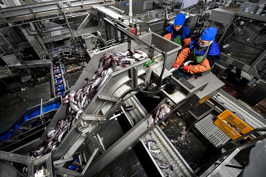 Крупные промышленные предприятия отлавливают сотни тонн рыбы каждый сезон.