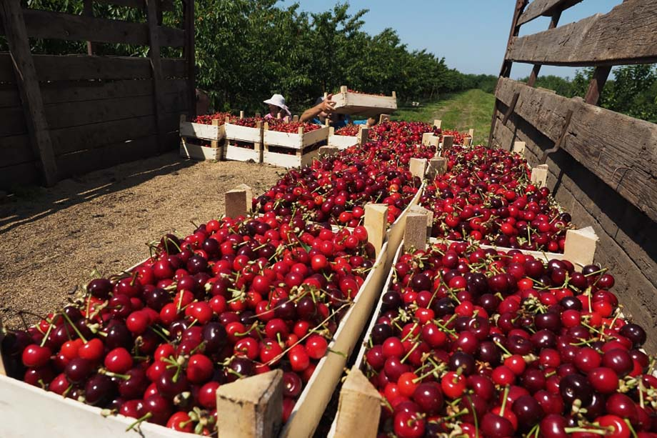 В Севастополе рассчитывают собрать 250 тонн черешни