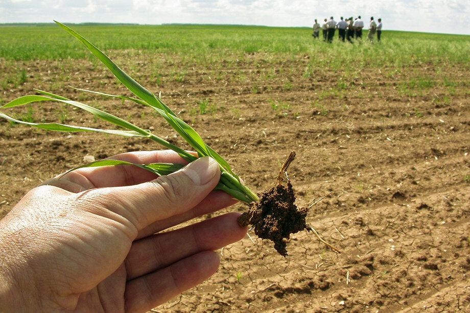Высокая температура и дефицит влаги оказали губительное воздействие на посевы.