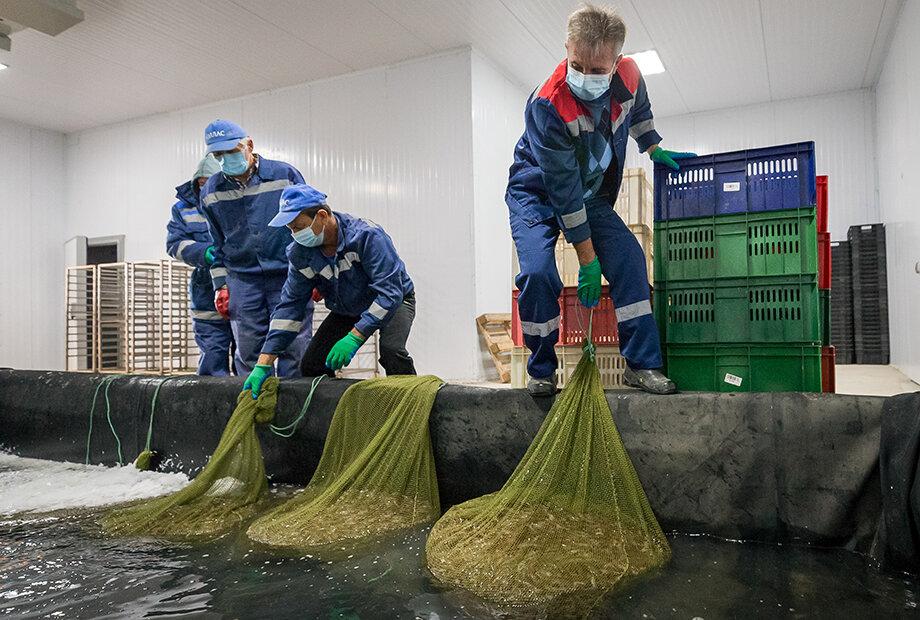 Работники креветочной экофермы во время доставки улова в цех.