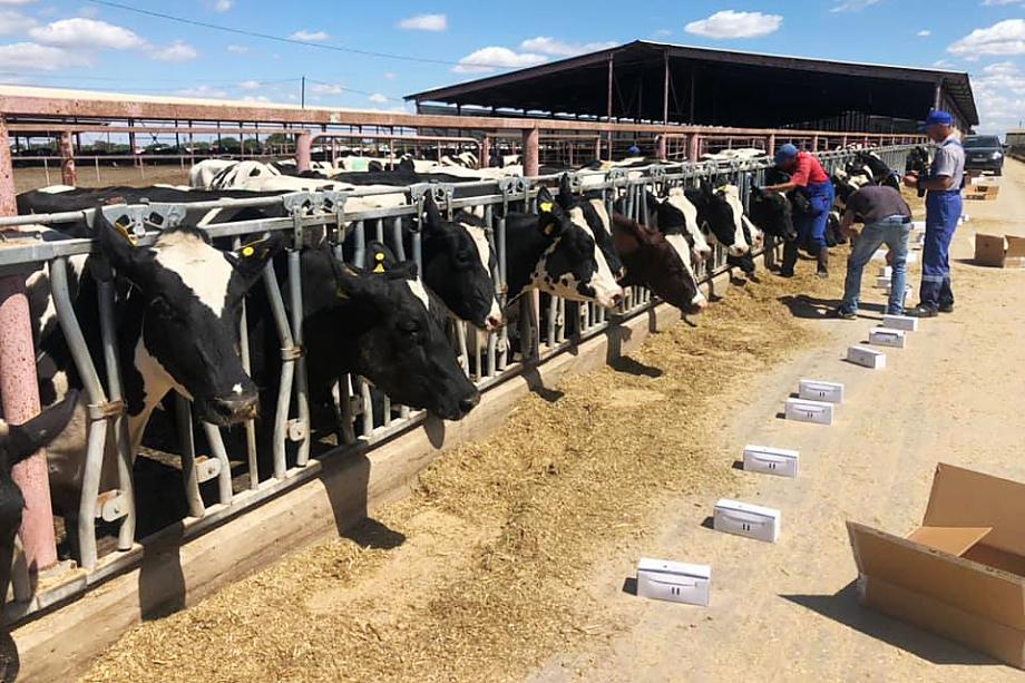 Субсидии, выделяемые на каждую фуражную корову в Крыму, – одни из самых высоких в России.