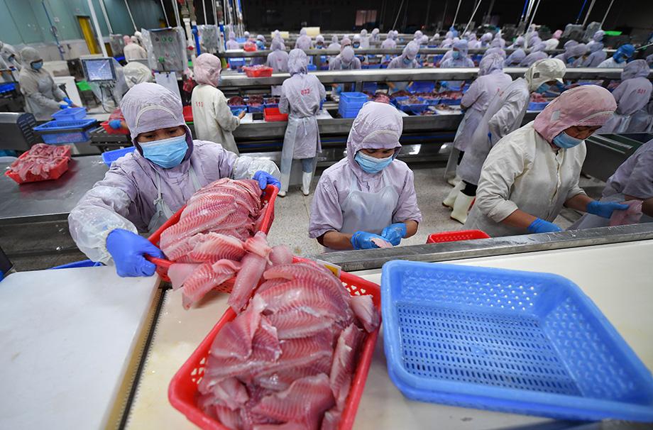 Китай лидирует по объёмам переработки тресковых рыб.